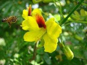 pau brasil flor