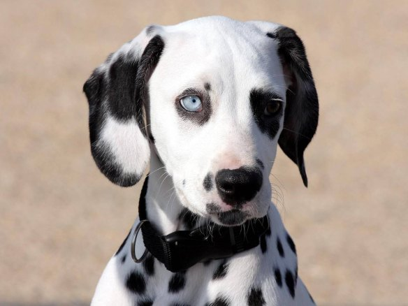 cachorro-dalmata